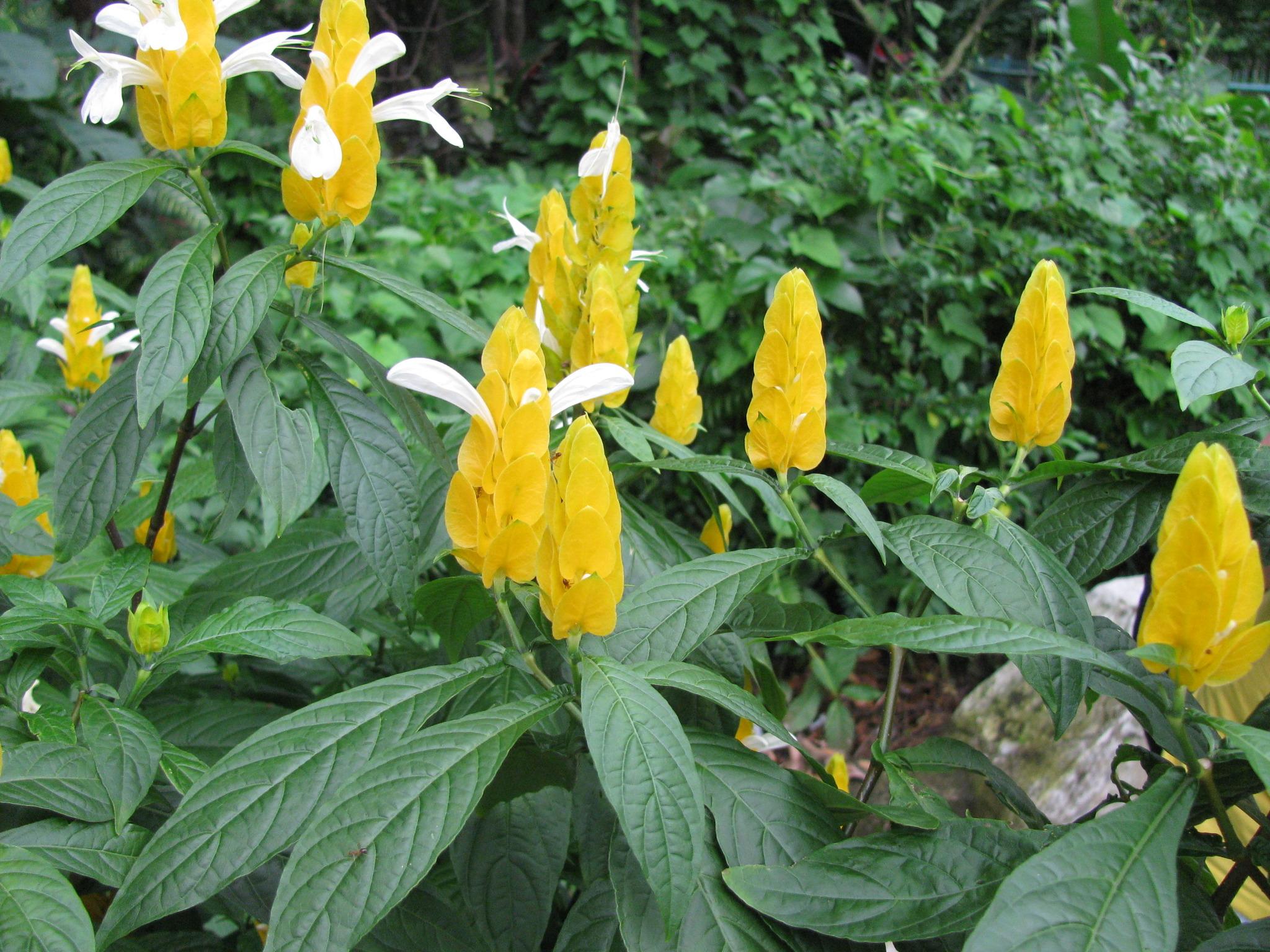 Все фото цветка пахистахис