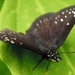 Common Sootywing - Photo (c) Coton Pinto, all rights reserved