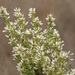 Coyote Brush - Photo (c) NatureShutterbug, all rights reserved, uploaded by Lynn Watson, Santa Barbara