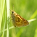 Long Dash Skipper - Photo (c) Scott King, all rights reserved