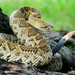 Basilisk Rattlesnake - Photo (c) pmyska, all rights reserved, uploaded by Petr Myska