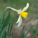 Nonesuch Daffodil - Photo (c) Tiggrx, all rights reserved, uploaded by Tig