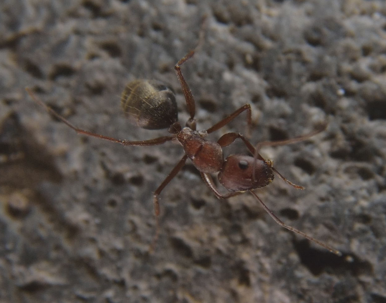 Image of Camponotus rufoglaucus