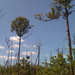 Slash Pine - Photo (c) johnnybirder, all rights reserved, uploaded by Johnny Wilson
