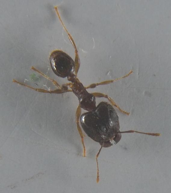 Image of Pheidole megacephala