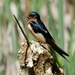 Barn Swallow - Photo (c) Minette Layne, all rights reserved, uploaded by Minette Layne
