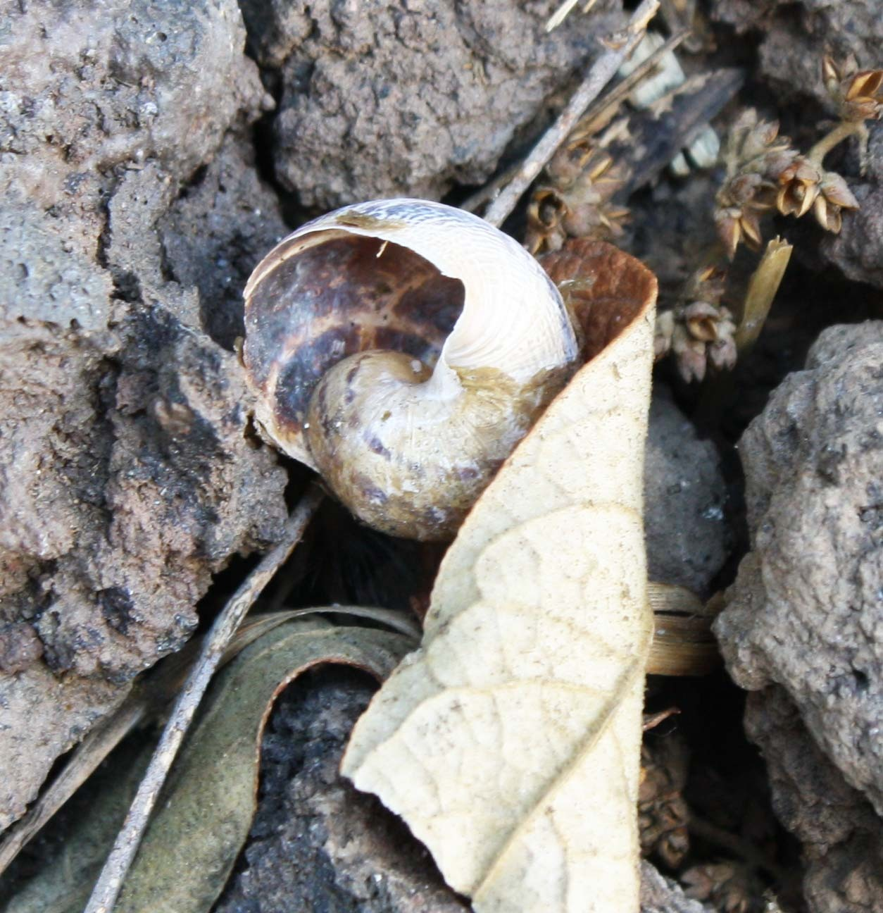 Caracol de jard n observado por heliographyst en mayo 6 for Caracol de jardin