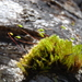 tall-clustered thread-moss - Photo (c) clockradiofloss, all rights reserved, uploaded by Greg Eide