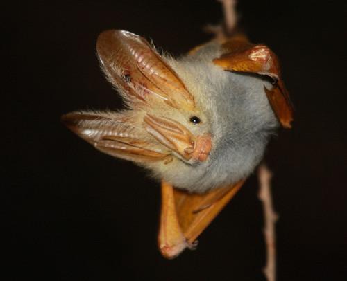 Murciélago de alas amarillas Medium