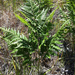 Common Bracken - Photo (c) invertboy, all rights reserved, uploaded by Chris Brown