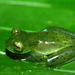 Emerald Glass Frog - Photo (c) jplarry, all rights reserved
