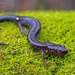 Ravine Salamander - Photo (c) jplarry, all rights reserved, uploaded by J.P. Lawrence