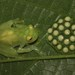 Reticulated Glass Frog - Photo (c) nito72, all rights reserved, uploaded by nito72