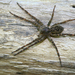 Fishing Spiders - Photo (c) WabbyTwaxx, all rights reserved, uploaded by John Beatty