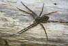 Dark Fishing Spider - Photo (c) WabbyTwaxx, all rights reserved, uploaded by John Beatty