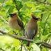 Waxwings - Photo (c) Minette Layne, all rights reserved, uploaded by Minette Layne