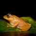Raorchestes luteolus - Photo (c) benjamin, all rights reserved, uploaded by Benjamin Tapley