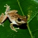 Rough-Armed Tree Frog - Photo (c) benjamin, all rights reserved