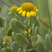 sea oxeye - Photo (c) Layla, all rights reserved, uploaded by Layla Dishman