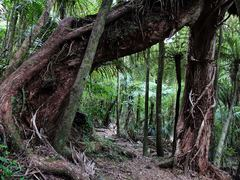 Rata archway, two trees became one. Leaf photos fr...