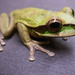 Masked Tree Frog - Photo (c) gregor, all rights reserved, uploaded by Gregor Jongsma