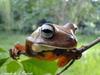 blacksmith treefrog - Photo (c) leonardo, all rights reserved, uploaded by Leonardo de Souza Machado