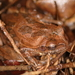 Drab Treefrog - Photo (c) Bart, all rights reserved, uploaded by BJ Smit
