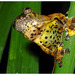 Marbled Treefrog - Photo (c) pedroivosimoes, all rights reserved, uploaded by pedroivosimoes