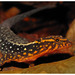 Haseman's Gecko - Photo (c) pedroivosimoes, all rights reserved, uploaded by pedroivosimoes