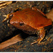 Brown Egg Frog - Photo (c) pedroivosimoes, all rights reserved, uploaded by pedroivosimoes