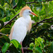 Cattle Egret - Photo (c) asydabass, all rights reserved, uploaded by Don Filipiak