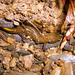 Tsushima Salamander - Photo (c) xiangma, all rights reserved