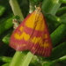 Southern Purple Mint Moth - Photo (c) microm, all rights reserved, uploaded by Michele Roman