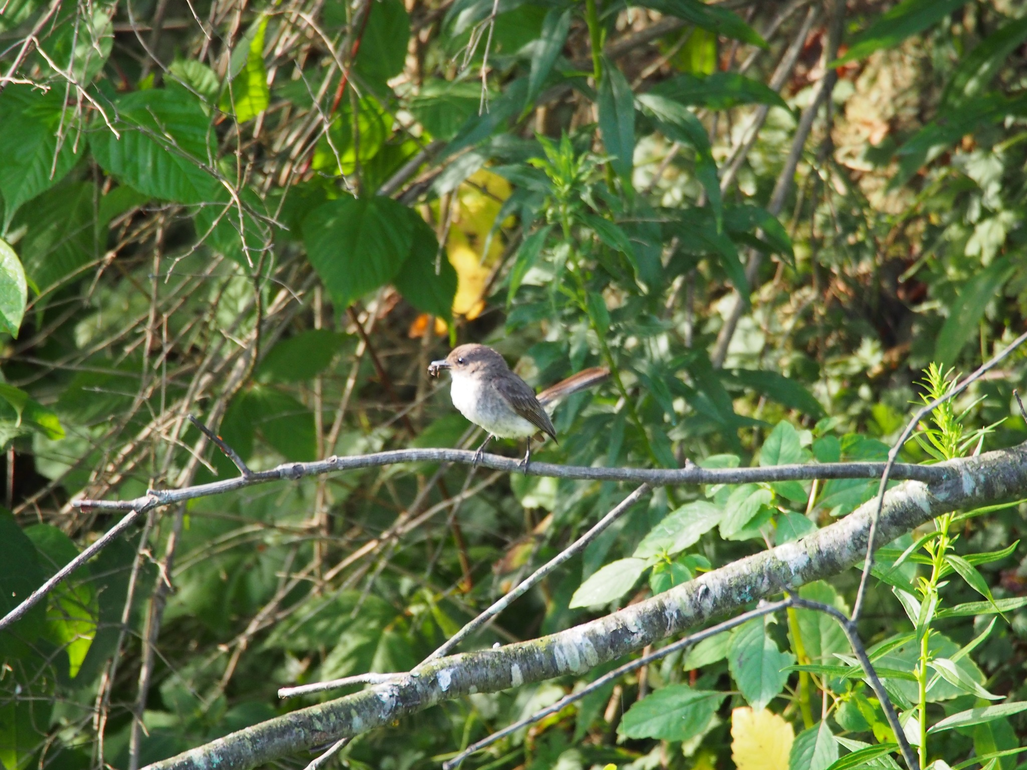 Mc Kean (PA) United States  city pictures gallery : Eastern Phoebe observed by laurenyaich on July 24, 2016 · iNaturalist ...