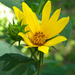 Helianthus hirsutus - Photo (c) jawinget, all rights reserved, uploaded by jawinget