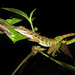 Water Anole - Photo (c) redpine, all rights reserved