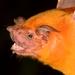 Greater Bulldog Bat - Photo (c) José Gabriel  Martínez Fonseca, all rights reserved, uploaded by Jose Martinez