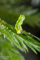 Caterpillar on Leptopteris hymenophylloides.