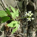 broadleaf toothwort - Photo (c) Christopher, all rights reserved, uploaded by Christopher Tracey
