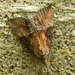 Green Cloverworm Moth - Photo (c) jawinget, all rights reserved, uploaded by jawinget