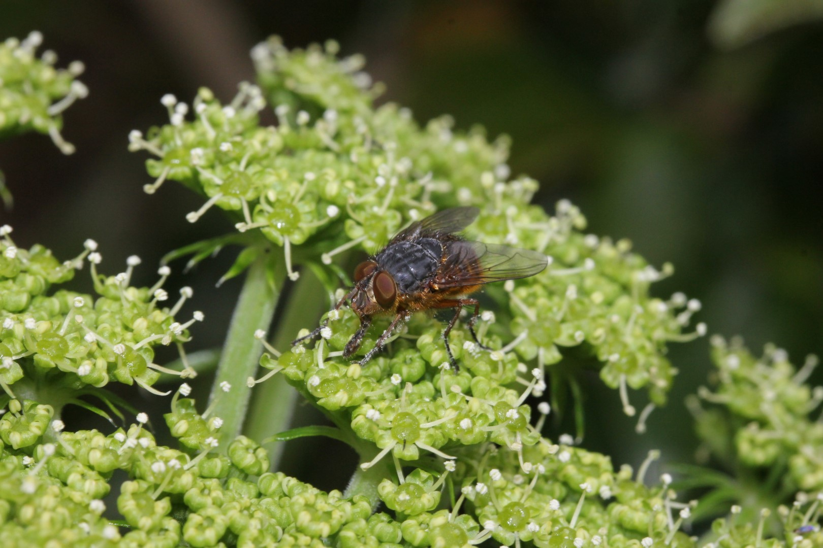 Brown Blowfly Observed By Wmblom 02 09 Pm Nzdt On October