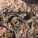 Many-lined Skink - Photo (c) tonyg, all rights reserved, uploaded by Tony Gerard