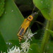 Goldenrod Soldier Beetle - Photo (c) jawinget, all rights reserved, uploaded by jawinget