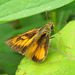 Delaware Skipper - Photo (c) jawinget, all rights reserved, uploaded by jawinget