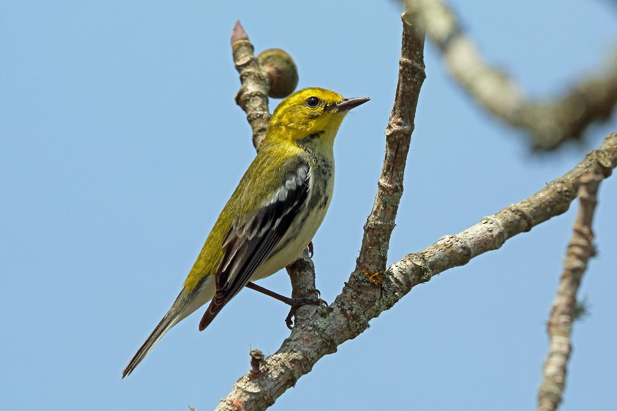 Black throated green warbler photos Cape Breton Birds