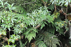 Cyathea dealbata, growing on forest margin