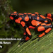 Harlequin Poison Frog - Photo (c) juanmanuel, all rights reserved, uploaded by Juan Manuel Cardona Granda