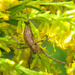 Nursery Web Spider - Photo (c) jawinget, all rights reserved