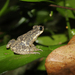 Kelaart's Dwarf Toad - Photo (c) Olga Jovanovic, all rights reserved