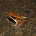 Mantidactylus melanopleura - Photo (c) devinedmonds, all rights reserved